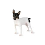 Petland Chicago Ridge Toy Fox Terrier