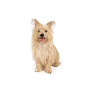 Cairn Terrier Puppies - Visit Petland Chicago Ridge in Cook County, IL