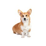 Petland Chicago Ridge Pembroke Welsh Corgi