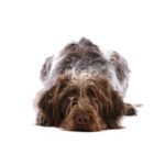 Petland Chicago Ridge German Wirehaired Pointer
