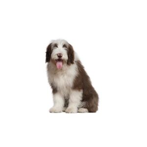 Old English Sheepdog - Visit Petland Chicago Ridge in Cook County, IL