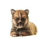 Petland Chicago Ridge Pomsky