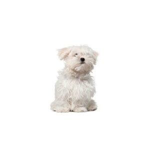 Shih Poo Puppies - Visit Petland Chicago Ridge in Cook