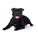 Petland Chicago Ridge Staffordshire Bull Terrier