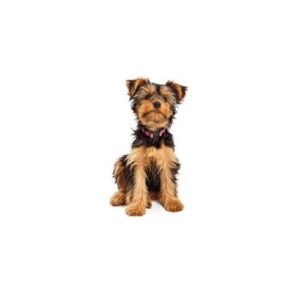 Yorkshire Terrier Puppies Visit Petland Chicago Ridge In Cook