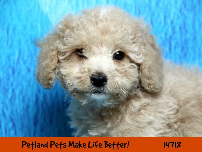 Miniature Poodle-Male-Cream-2619554-Petland Chicago Ridge