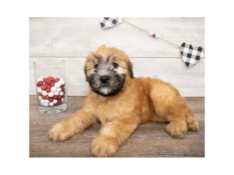 Soft Coated Wheaten Terrier-Male-Wheaten-2621608-Petland Chicago Ridge