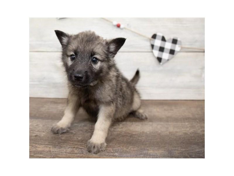 Norwegian Elkhound-Male-Sable-2621673-Petland Chicago Ridge
