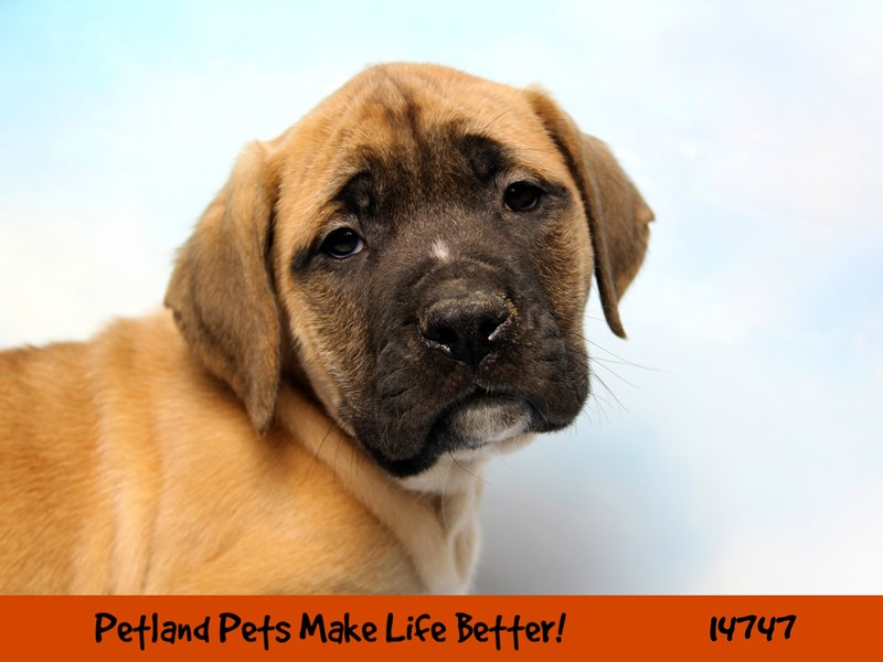 English Mastiff-Female-Apricot-2626748-Petland Chicago Ridge
