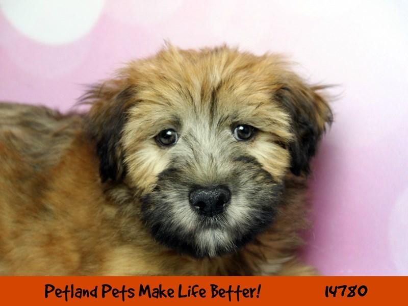 Soft Coated Wheaten Terrier-Male-Wheaten-2633561-Petland Chicago Ridge