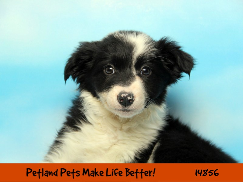 Border Collie-Female-Black / White-2655915-Petland Chicago Ridge