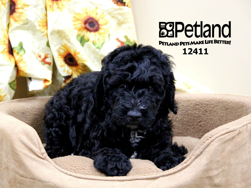 Goldendoodle 2nd Gen-Female-Black-1931446-Petland Chicago Ridge