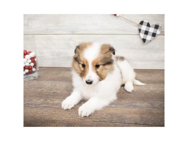 Shetland Sheepdog-Female-Sable / White-2621619-Petland Chicago Ridge