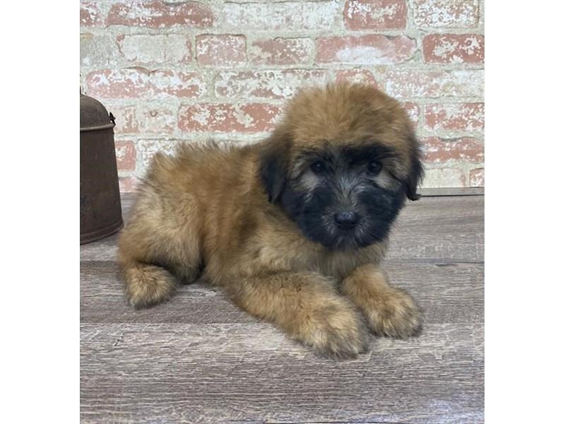 Soft Coated Wheaten Terrier-Female-Wheaten-2676682-Petland Chicago Ridge