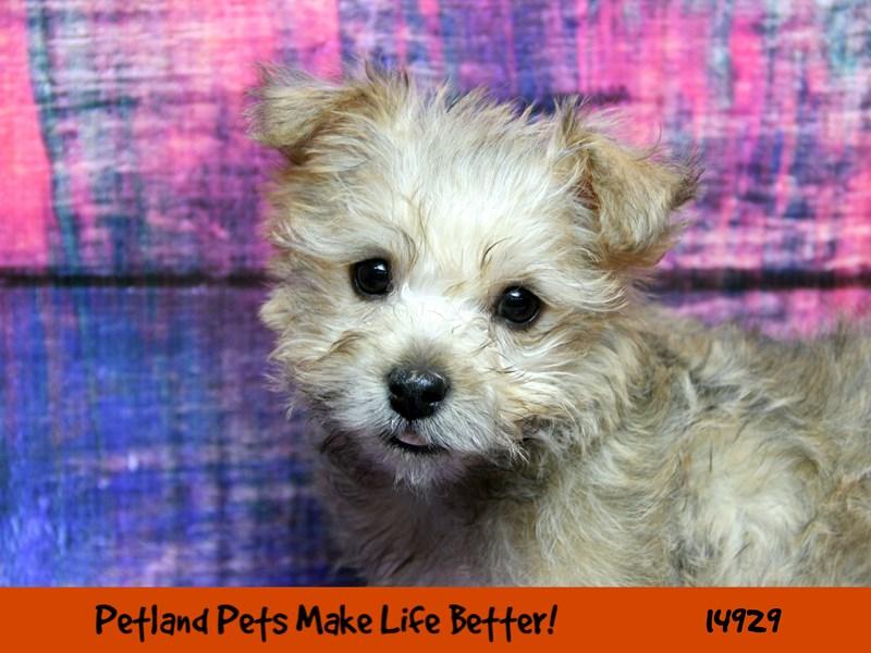 Cairn Terrier-Female-Wheaten-2681152-Petland Chicago Ridge