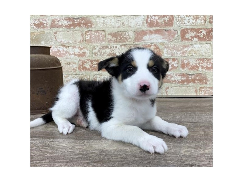 Border Collie-Male-Black / Tan-2683137-Petland Chicago Ridge