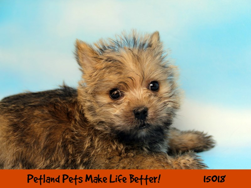 Cairn Terrier-Male-Wheaten-2701391-Petland Chicago Ridge