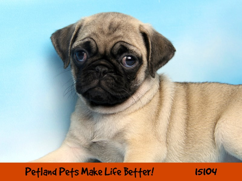 Pug-Female-Fawn-2721749-Petland Chicago Ridge