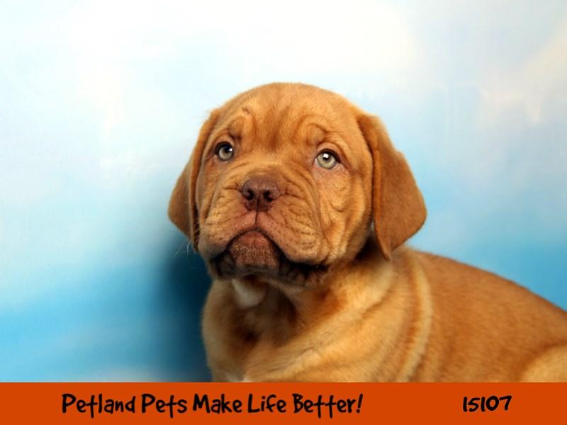 Dogue De Bordeaux-Male-Red-2721727-Petland Chicago Ridge
