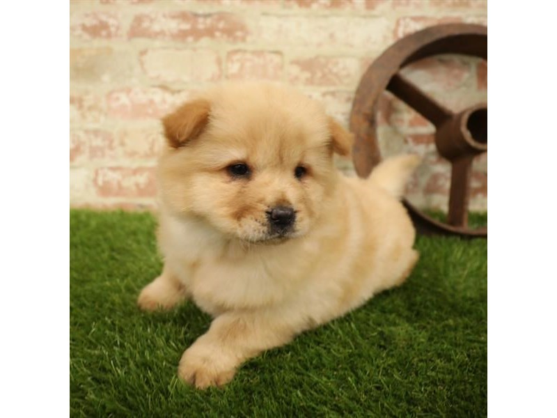 Chow Chow-Female-Red-2730808-Petland Chicago Ridge