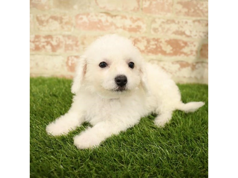 Bichon Frise-Female-White-2730820-Petland Chicago Ridge
