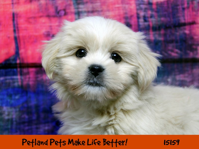 Lhasa Apso-Male-Cream-2737912-Petland Chicago Ridge