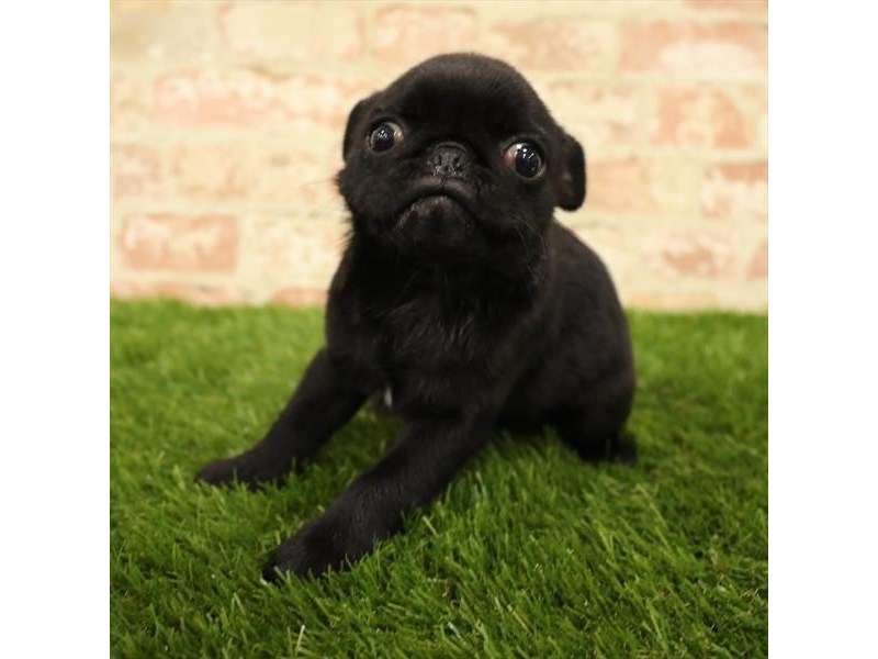 Pug-Female-Black-2737917-Petland Chicago Ridge