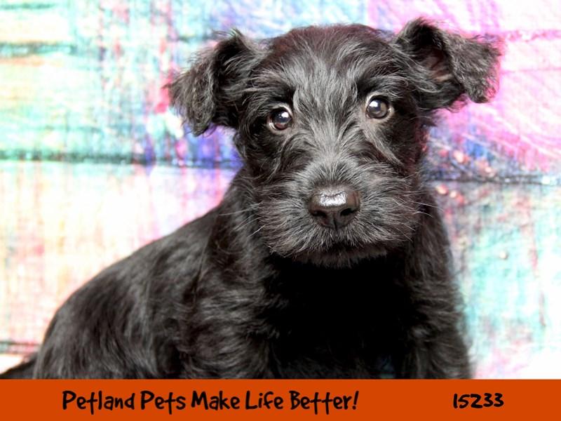 Scottish Terrier-Male-Black-2758306-Petland Chicago Ridge