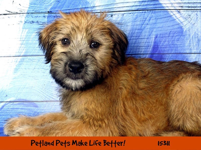 Soft Coated Wheaten Terrier-Female-Wheaten-2767740-Petland Chicago Ridge