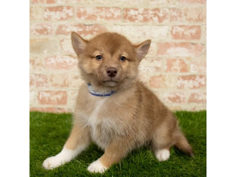 Pomsky-Female-Red / White-2752304-Petland Chicago Ridge