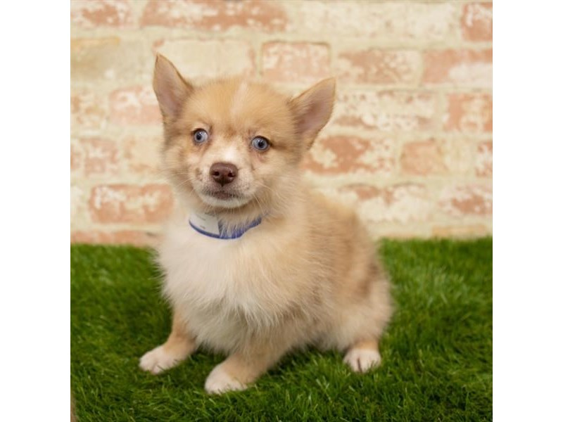 Pomsky-Female-Red Merle-2760050-Petland Chicago Ridge