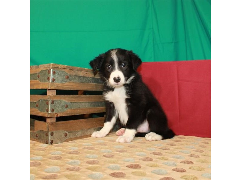 Border Collie-Male-Black-2810485-Petland Chicago Ridge