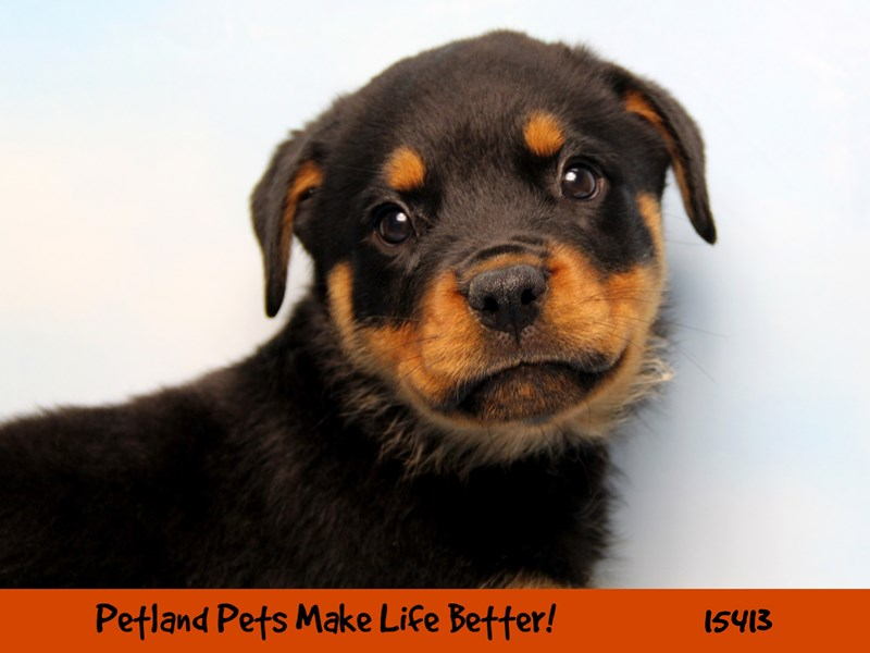 Rottweiler-Male-Black / Rust-2810134-Petland Chicago Ridge