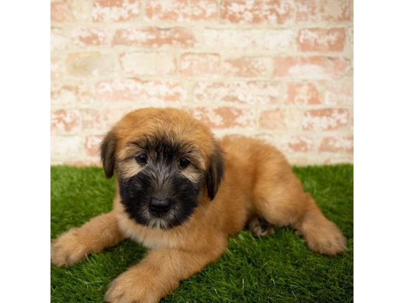 Soft Coated Wheaten Terrier-Female-Wheaten-2797713-Petland Chicago Ridge