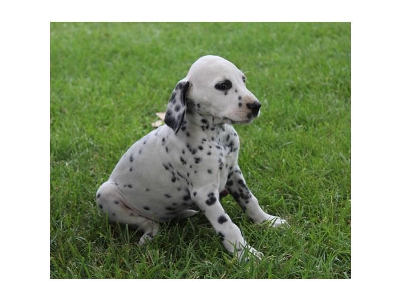 Dalmatian-Female-White / Black-2810186-Petland Chicago Ridge