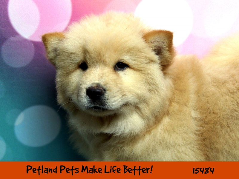 Chow Chow-Female-Red-2835835-Petland Chicago Ridge