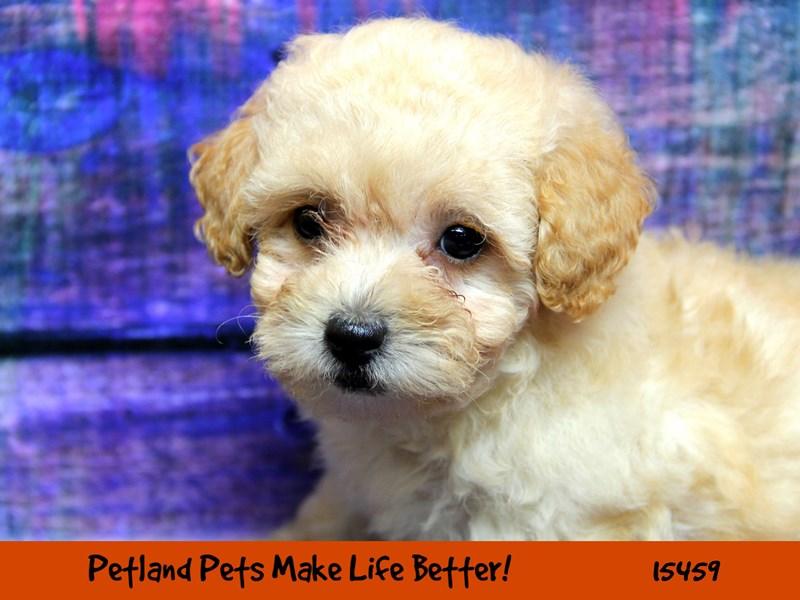 Poodle-Female-Cream-2833280-Petland Chicago Ridge