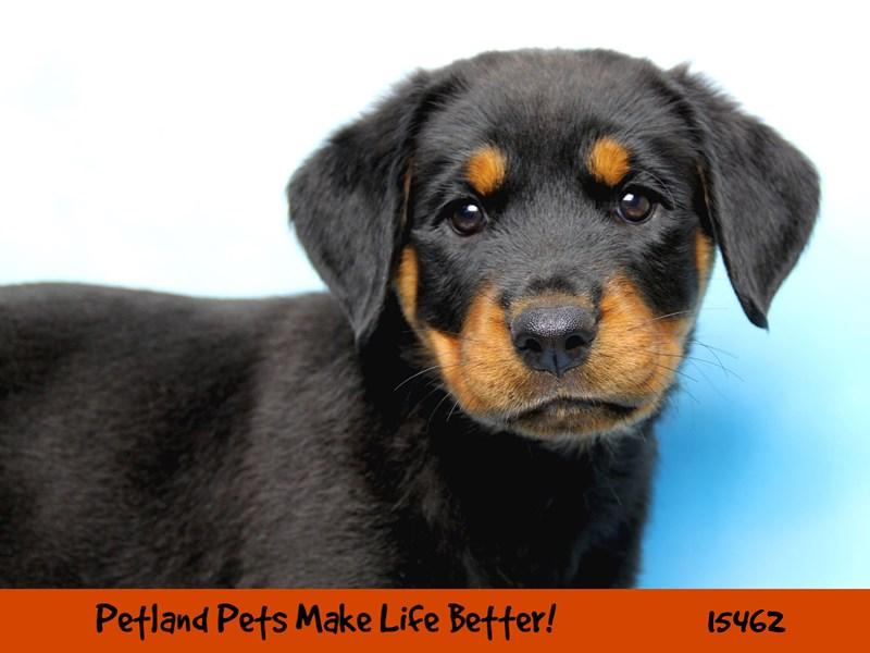 Rottweiler-Female-Black / Rust-2833314-Petland Chicago Ridge