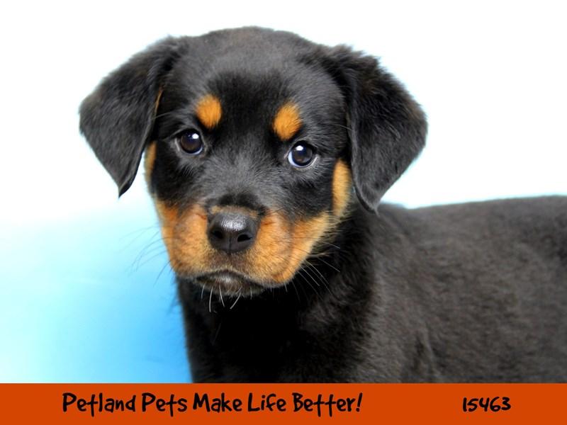 Rottweiler-Female-Black / Rust-2833317-Petland Chicago Ridge