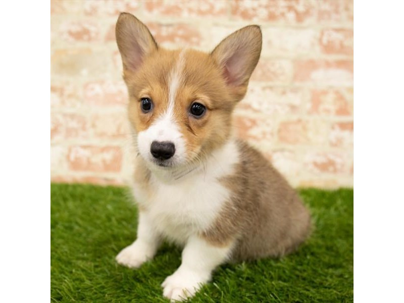 Pembroke Welsh Corgi-Female-Red / White-2842923-Petland Chicago Ridge