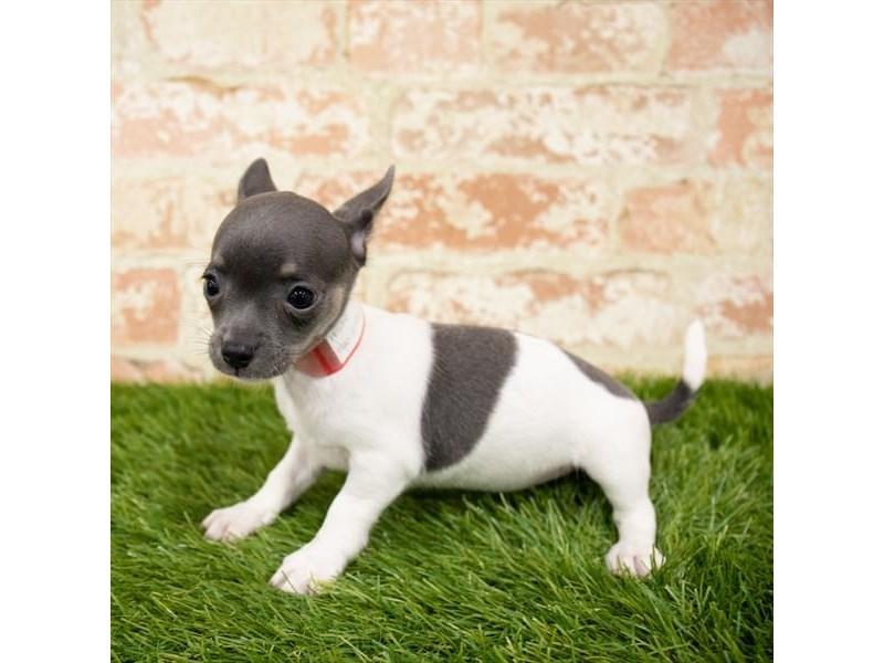 Chihuahua-Female-Blue-2850238-Petland Chicago Ridge