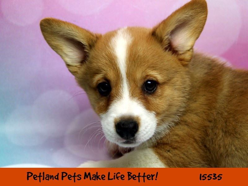 Pembroke Welsh Corgi-Male-Red / White-2856578-Petland Chicago Ridge