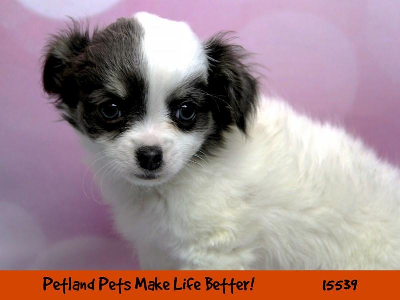 Chihuahua-Male-White/Blue Merle-2856618-Petland Chicago Ridge