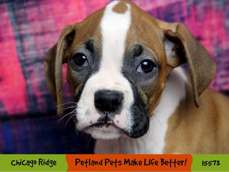 Boxer-Male-Fawn / White-2870180-Petland Chicago Ridge
