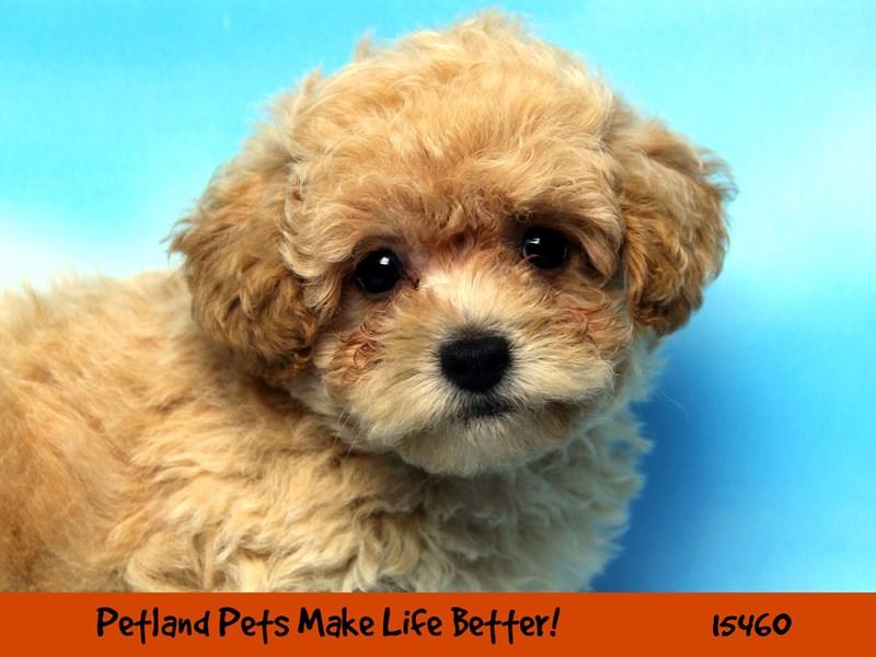 Poodle-Male-Cream-2833281-Petland Chicago Ridge