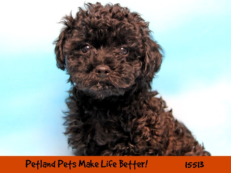Poodle-Male-Black-2848466-Petland Chicago Ridge