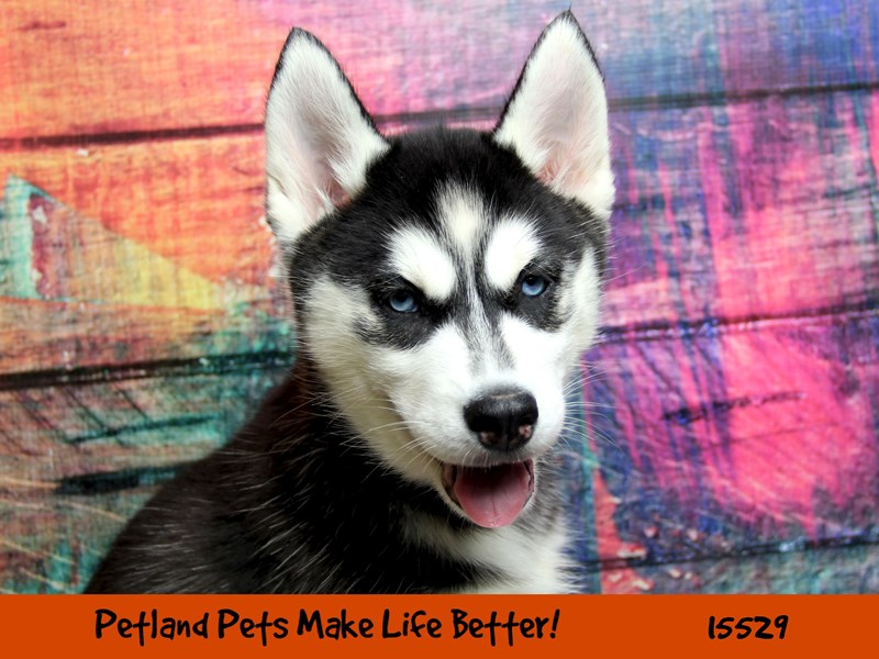 Siberian Husky-Female-Black/White-2855908-Petland Chicago Ridge
