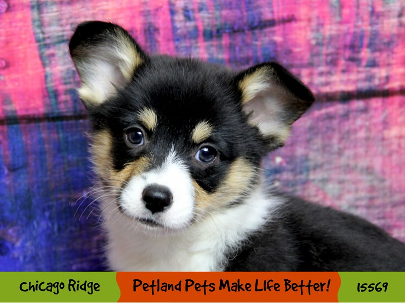 Pembroke Welsh Corgi-Male-Black Tri-2870162-Petland Chicago Ridge