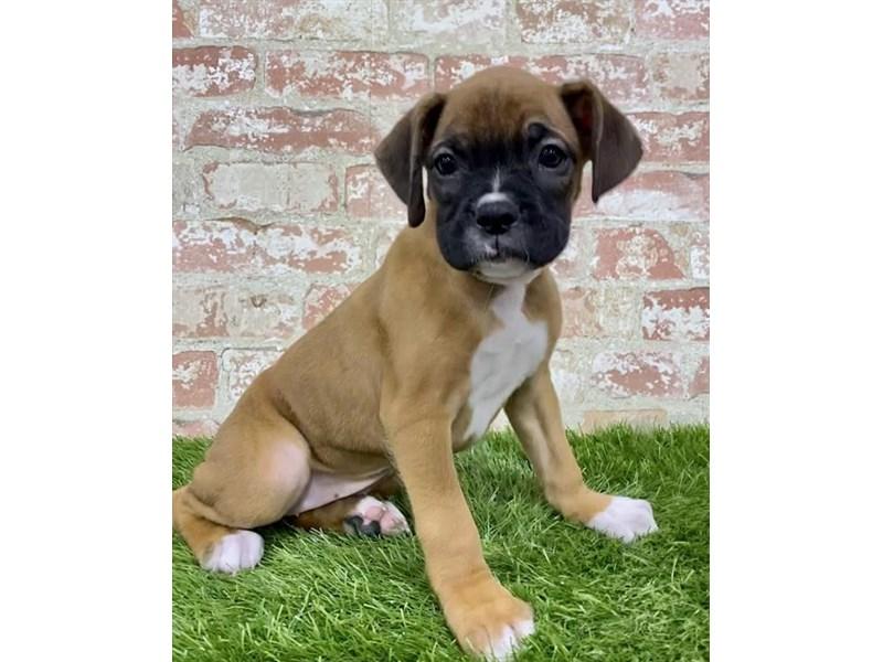 Boxer-Female-Brindle / White-2879343-Petland Chicago Ridge