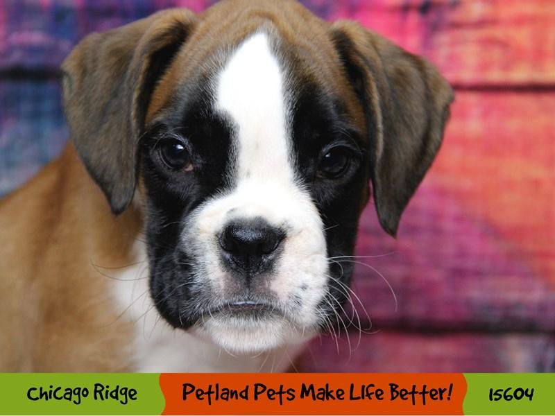 Boxer-Male-Fawn / White-2884368-Petland Chicago Ridge
